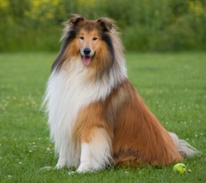 dog-rough-collie